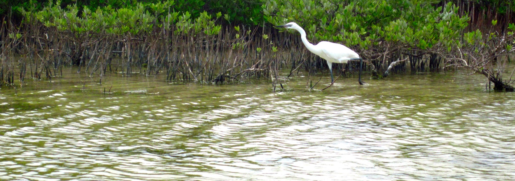 Great egret off of Big Pine Key